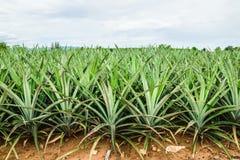 Mogen ananaslie på womanshanden Fotografering för Bildbyråer