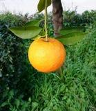 Mogen apelsin i trädet Fotografering för Bildbyråer