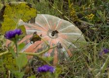 Mogen apelsin med mörker - gräsplan gör randig pumpa som ligger på jordningen Royaltyfria Foton