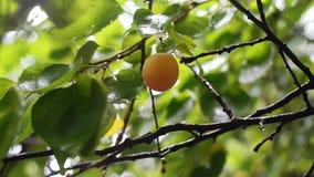 Mogen aprikos på filial efter regn Frukter för skörd i fruktträdgård lager videofilmer