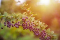 Mogen barberry på en grön buske royaltyfri fotografi