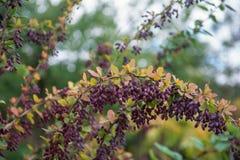Mogen barberry p? en gr?n buske royaltyfria foton