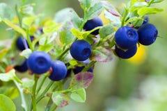 mogen blåbärbuske Royaltyfri Fotografi