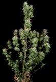 Mogen cannabisväxt Arkivfoton