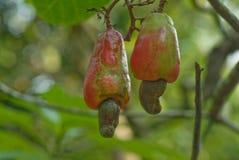 mogen cashewfrukt Fotografering för Bildbyråer
