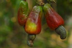 mogen cashewfrukt Royaltyfria Bilder