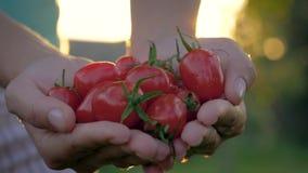 Mogen Cherry Tomatoes Against The Golden för bondeHands Holding A handfull solnedgång stock video