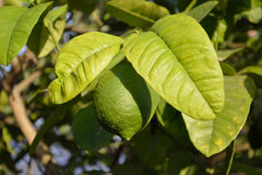 Mogen citron på tree Royaltyfri Fotografi