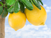 Mogen citronfrukt på trädet arkivbilder