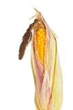Mogen corncob royaltyfria foton