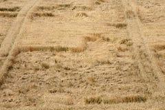 Mogen cornfield arkivbilder