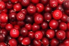 mogen cranberry Fotografering för Bildbyråer