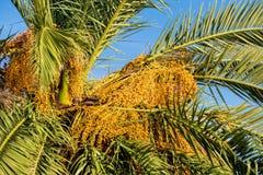 Mogen datumfrukt på palmträdet Arkivfoton