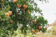 Mogen färgrik Pomegranatefrukt på Tree förgrena sig arkivfoto