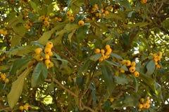 Mogen fikonträdfrukt royaltyfria foton