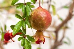 mogen filialpomegranate Royaltyfri Foto