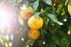 Mogen frukt för orange träd med solig hotspot Royaltyfria Foton