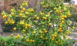 Mogen frukt på det orange trädet i fyrkanten av staden av Holon i Israel arkivfoto