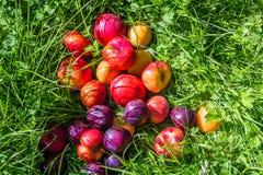 Mogen frukt på gräset i trädgården, persikor, plommoner royaltyfri foto