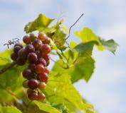 Mogen grupp av druvor på vine arkivfoton