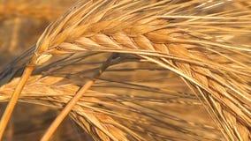 Mogen havre i åkerbruk och lantlig livet det fält, skörden av fältet stock video