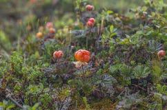 Mogen hjortron Mogna bär i den naturliga miljön arkivfoto