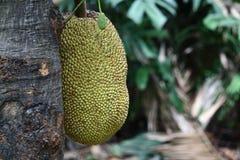 Mogen Jackfruit på stålarträd Royaltyfri Fotografi