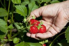 mogen jordgubbe för kvinnlighand Royaltyfri Fotografi