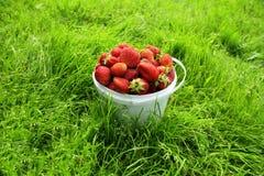 Mogen jordgubbe i hink Arkivfoto