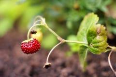 Mogen jordgubbe i skogen Royaltyfria Bilder