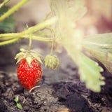 Mogen jordgubbe som växer i skogen Arkivbilder