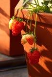 mogen jordgubbe till Royaltyfria Bilder