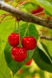 Mogen körsbärsröd frukt på ett träd royaltyfri bild