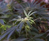 Mogen koloni av marijuana Arkivbilder