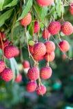 Mogen litchiplommonfrukt på träd I fotografering för bildbyråer
