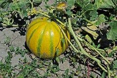 Mogen melon på det gröna melonfältet Royaltyfria Foton