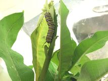Mogen monarklarv på milkweedbladet Royaltyfri Foto