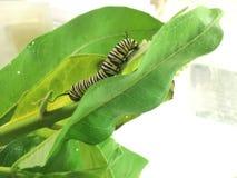 Mogen monarklarv på milkweedbladet Royaltyfri Fotografi