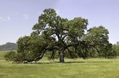 mogen oakpopedal Royaltyfria Foton