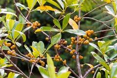 Mogen orange bärfrukt för Closeup med frö av kådacheesewood, royaltyfri foto