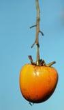 Mogen orange Diospyroskaki som in hänger på filialen av trädet Arkivfoto