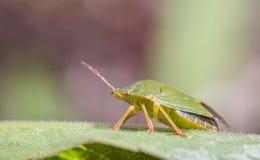 Mogen Palomena för fel för Eurasiangräsplansköld prasina på ett grönt blad, sidosikt Arkivbilder