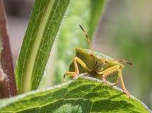 Mogen Palomena för fel för Eurasiangräsplansköld prasina på ett grönt blad, stående av framdelen Royaltyfria Foton