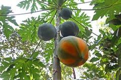 Mogen papayafrukt i träd Arkivbilder