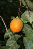 Mogen persimonfrukt på ett träd Royaltyfri Fotografi