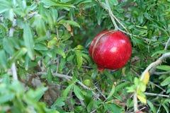 mogen pomegranate Fotografering för Bildbyråer