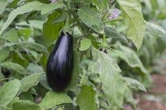 Mogen purpurfärgad aubergine som växer i ett växthus i Jordan Valley Royaltyfria Foton
