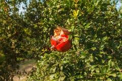 Mogen röd granatäpple på ett träd i det löst, Turkiet arkivfoton