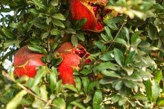 Mogen röd granatäpple på ett träd i det löst, Turkiet arkivbilder