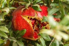 Mogen röd granatäpple på ett träd i det löst, Turkiet fotografering för bildbyråer